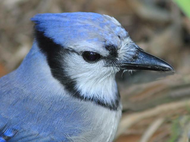 Blue Jay portrait 2-20121021