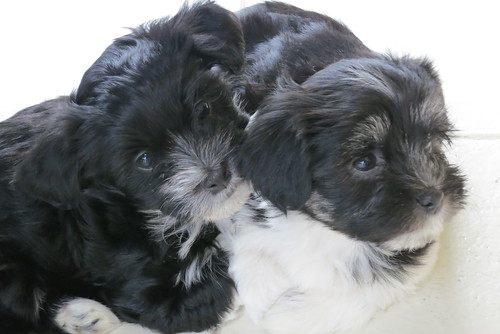 Two 7 week old Havanese babies