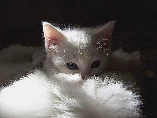 White Kitten BPOTD Webshots by emphotos103