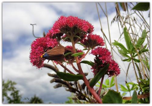 Flower and Moth (2)    (sedum  and Virginia ctenuchid, diurnal moth)