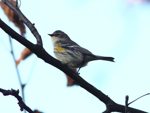 Yellow-rumped Warbler 20121025