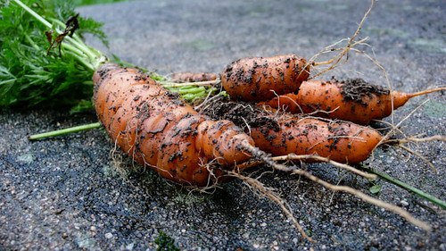 Late carrots