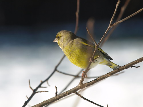 Greenfinch by inga_art