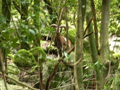 Au Valdu Grande : un mouflon mâle pris de plus loin après sa fuite