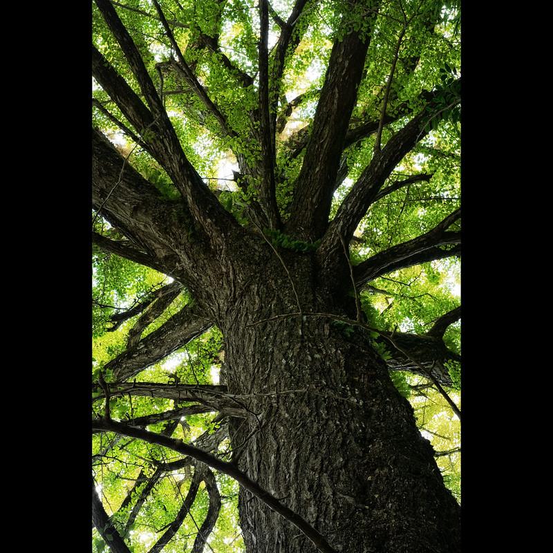 Ginkgo tree *