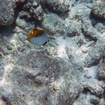 Threadfin Butterflyfish