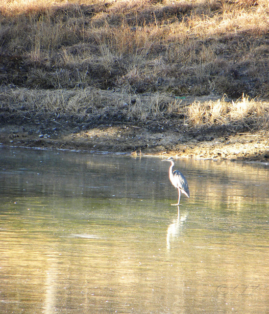 DSCN4876e Great Blue Heron