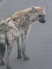 gray wolf(0.0), wolfdog(0.0), saarloos wolfdog(0.0), animal(1.0), mammal(1.0), hyena(1.0), fauna(1.0),