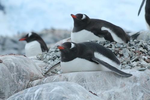 Gentoo Penguins by edward_rooks