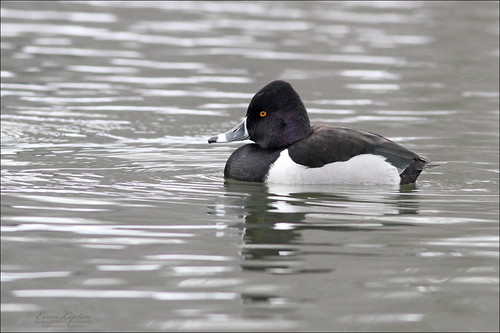 Ring-necked Duck ♂ (Aythya collaris)