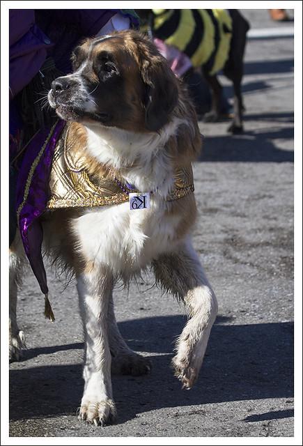 Soulard Pet Parade 2013-02-03 4