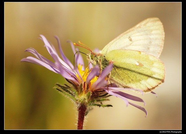 Unknown Sulphur (Colias sp.)