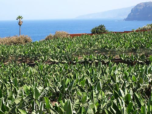 Banana Plantations, North Tenerife