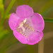 Small photo of Purple False Foxglove (Agalinis purpurea)