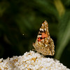 Painted Lady (Vanessa cardui)