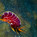 Flea / Amphipod by billunder