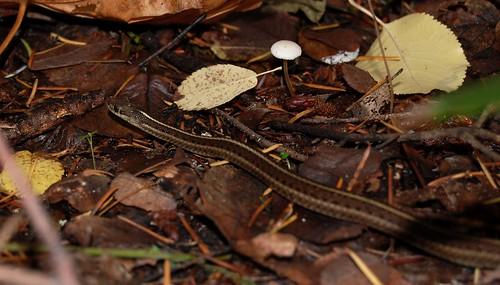 Snake on fall leaf litter