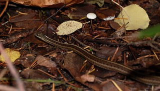 Snake on fall leaf litter