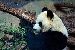 Panda géant #1