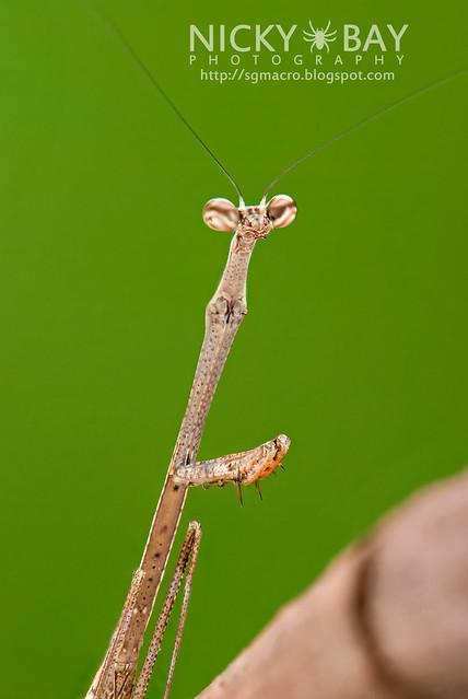 Stick Mantis? (Mantodea) - DSC_7092