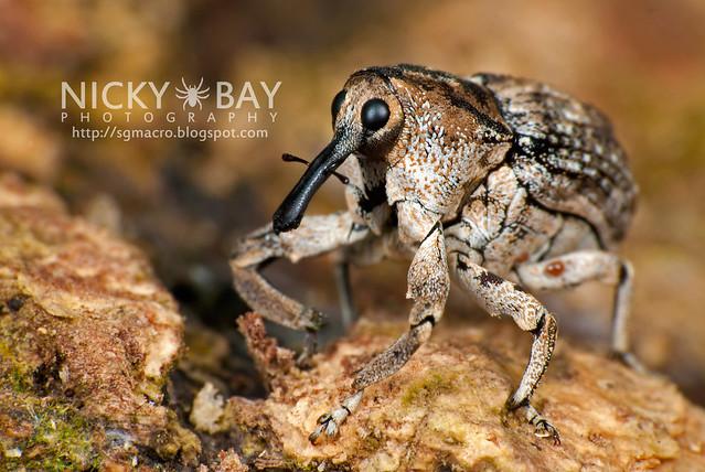 Weevil (Curculionidae) - DSC_6002