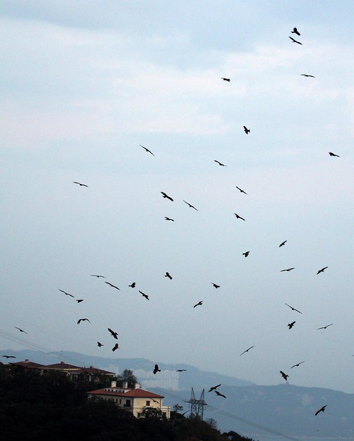 Hundreds of Black Kites (Milvus migrans) flying above Victoria Peak, Hong Kong