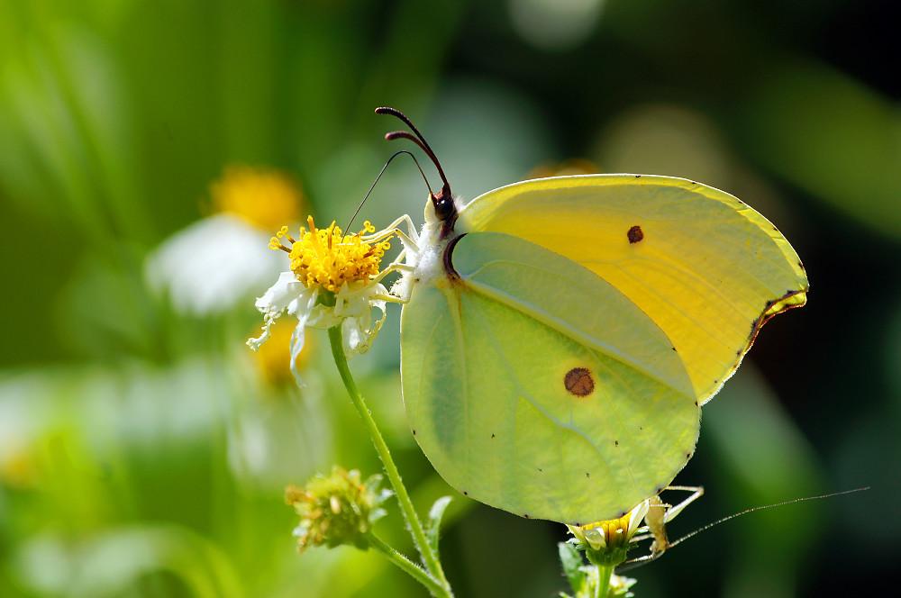 圓翅鉤粉蝶