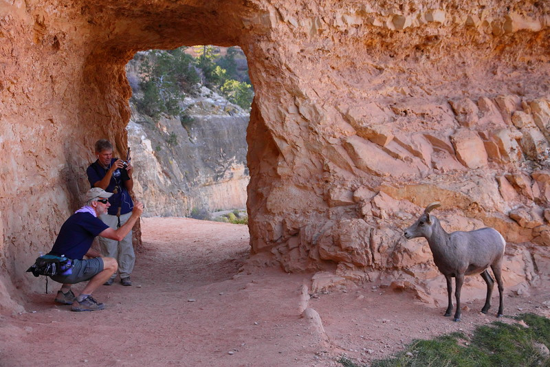 IMG_2763 Close Encounter of the Bighorn Kind