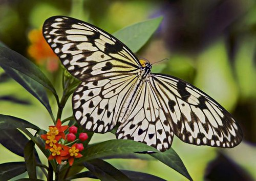black-and-white-butterfly