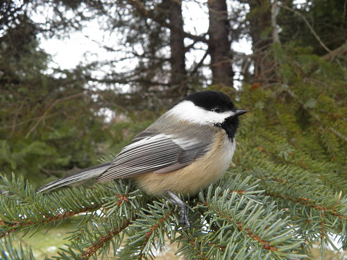Black Cap Chickadee by NCprofessor2008