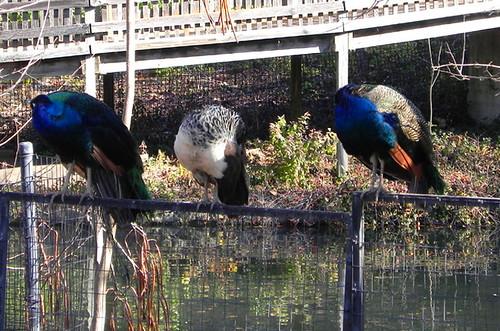 11-16-2012_Roosting peacocks