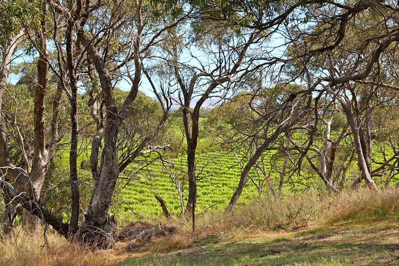 Mclaren Vale vineyards through trees