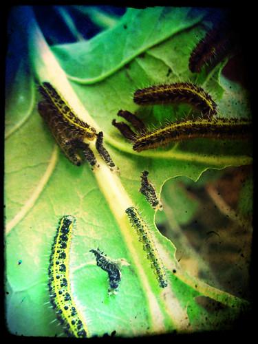 LarvasBorboletas