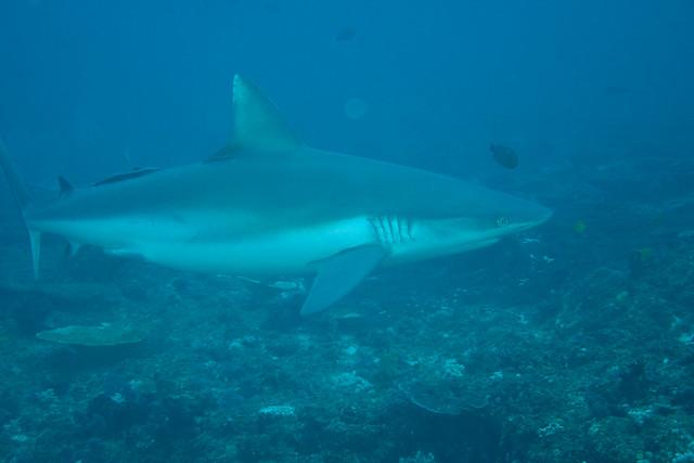 Kraftig Grey Reef Shark sett på The Office, Tofo, Mosambik