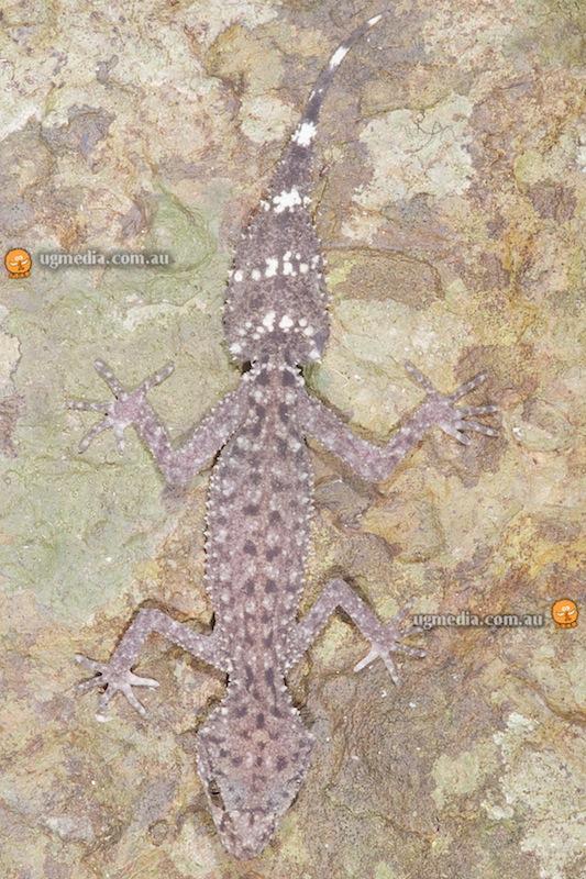 Mount Ossa broad-tailed gecko (Phyllurus ossa)