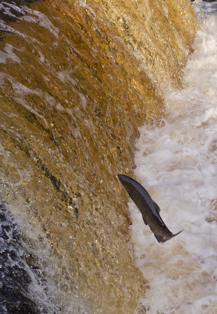 salmon leaping-6