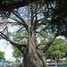 Large tree, Recife