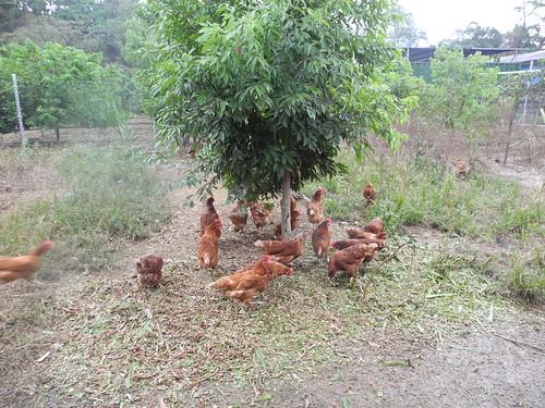 解放母雞救好蛋