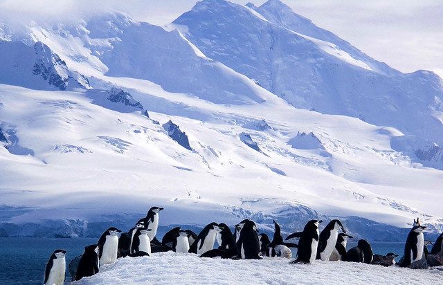 Chinstrap Penguins With Mountains