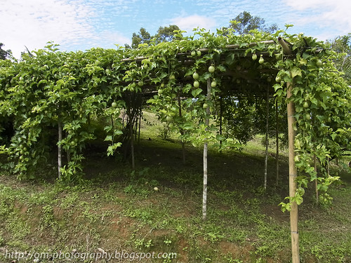 passion fruits vines R0019829 copy