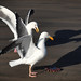 Western Gulls fighting over Dinner by -Dagmar-