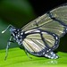Butterfly (Methona sp.)