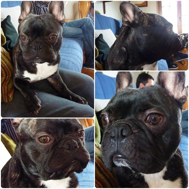Griffin, bouledogue français