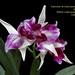Laelia purpurata trilabelo - cultivo Julio Pilla
