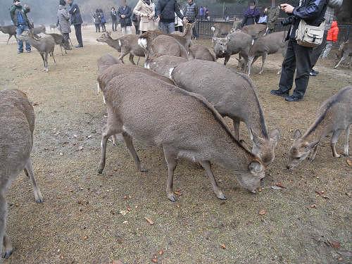 鹿寄せ@奈良公園(飛火野)-15