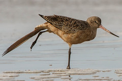 animal, charadriiformes, fauna, red backed sandpiper, redshank, sandpiper, snipe, beak, bird, wildlife,