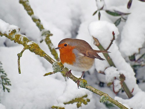 Robin by ~Kay Musk ~Merry Christmas everybody~