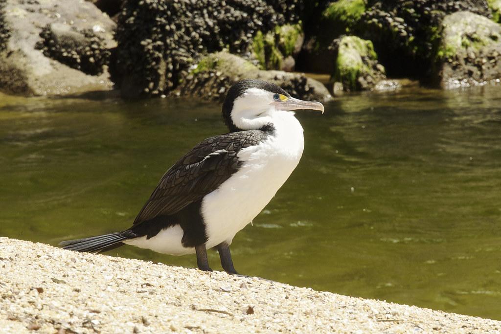 Phalacrocorax varius   Australian Pied Cormorant ...