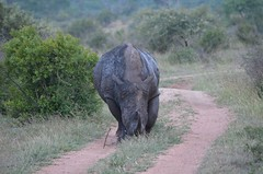 animal, grazing, rhinoceros, fauna, safari, wildlife,
