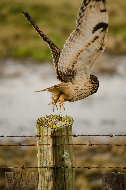 Short-eared Owl hurries off